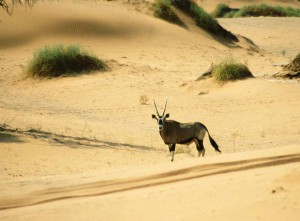 Gazelle to see on your desert African safari