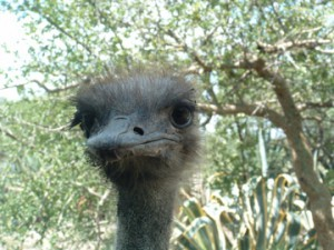 a ostrich face