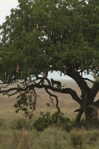 Leopark from truck Serengeti Dec 10 Denis